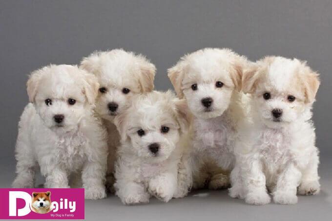 """Bạn nên chọn mua chó Bichon con thuần chủng từ những người bán hoặc nhà nhân giống uy tín, chuyên nghiệp. Tránh mua phải chó bệnh, tật lỗi để """"tiền mất, tật mang"""""""