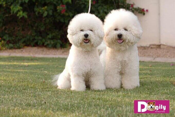 Màu chủ yếu của chó Bichon là màu trắng tuyết. Tuy nhiên cũng có một số cá thể có màu xám.
