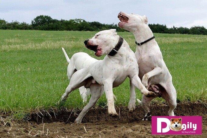 Tổ tiên của giống chó Dogo Argentino là giống chó Cordoba Fighting Dog chuyên được đùng để chiến đấu trong các cuộc chọi chó