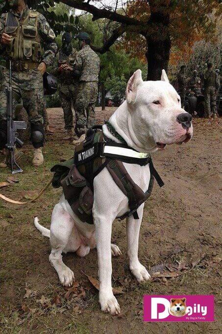 Bạn cần có kế hoạch huấn luyện chó Dogo Argentino chi tiết để có thể sở hữu một chú chó hoàn hảo
