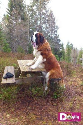 Trái với vẻ ngoài to lớn và hầm hố. Chó Saint Bernard thực ra rất hiền lành, thông minh và quấn chủ