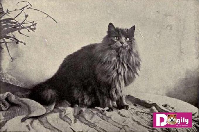 Hình ảnh chú mèo Ba Tư cổ giành thắng lợi tại Wesminster Catshow năm 1899
