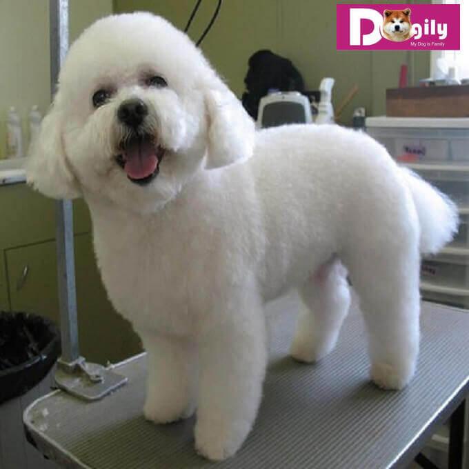 Bạn cần chăm sóc bộ lông chó Bichon thường xuyên. Gỡ lông rụng, chết tránh bị xơ rối. Nếu có điều kiện bạn nên tìm đến các spa chuyên nghiệp để chăm sóc tốt hơn.