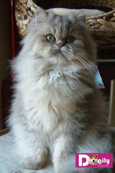 Hình ảnh một em mèo Ba Tư lông xù màu bạc. Đã từng được một số nhà nhân giống đề xuất tên gọi giống mèo Sterling nhưng không được CFA công nhận