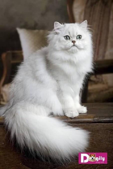Một em mèo Chinchilla với ánh mắt xanh ngọc lục bảo đẹp hút hồn