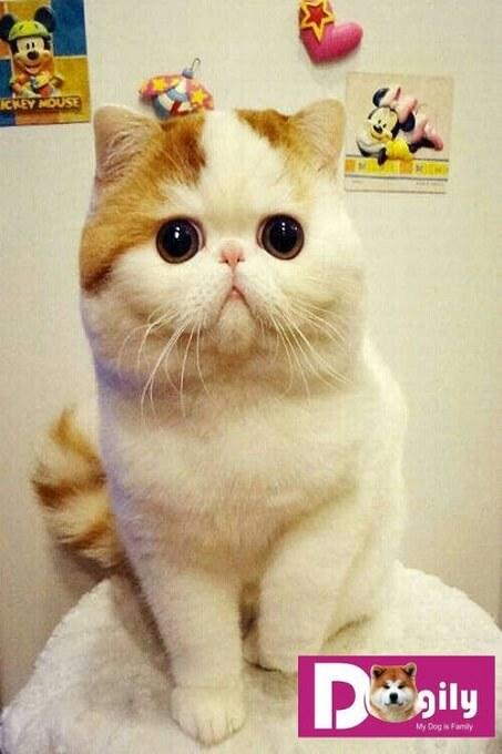 Hình ảnh một em mèo Exotic shorthair (hay còn gọi là mèo Ba Tư lông ngắn) cực xinh xắn và dễ thương