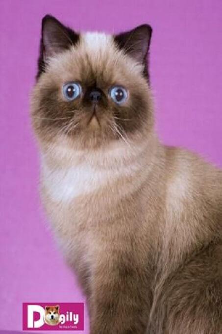 Giá bán mèo Exotic có sực chênh lệch đáng kể giữa mèo có giấy và mèo không giấy