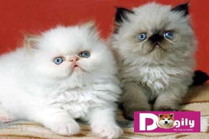 Tại Việt Nam, mèo Himalaya rất hiếm. Vì vậy, rất khó khăn để có thể mua được mèo Himalaya sinh sản tại Việt Nam