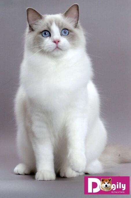 Hình ảnh một chú mèo Himalaya lông trắng như tuyết tuyệt đẹp và cực hiếm