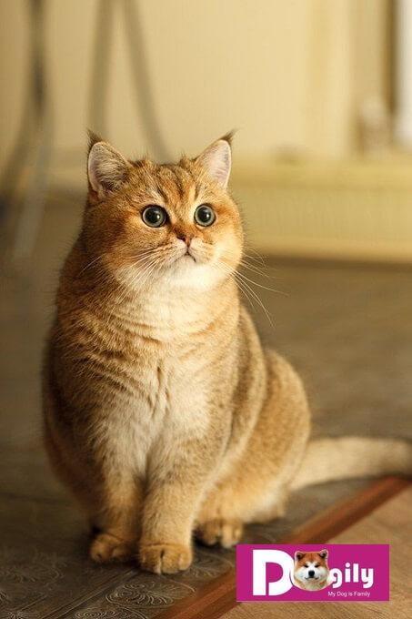 Hiện nay Dogily Pet shop bán mèo cảnh tphcm, hà nội. Trong đó mèo anh lông ngắn là một trong những giống thú kiểng được ưa chuộng nhất hiện nay