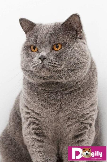 Mèo ALN có kích thước tương đối to lớn so với các giống mèo khác