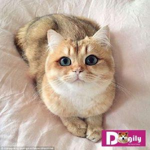 Mèo anh lông ngắn ALN giá rẻ hầu hết là mèo lai. Do người bán lai tạp với mèo ta, mèo Ba tư hoặc mèo Xiêm ...
