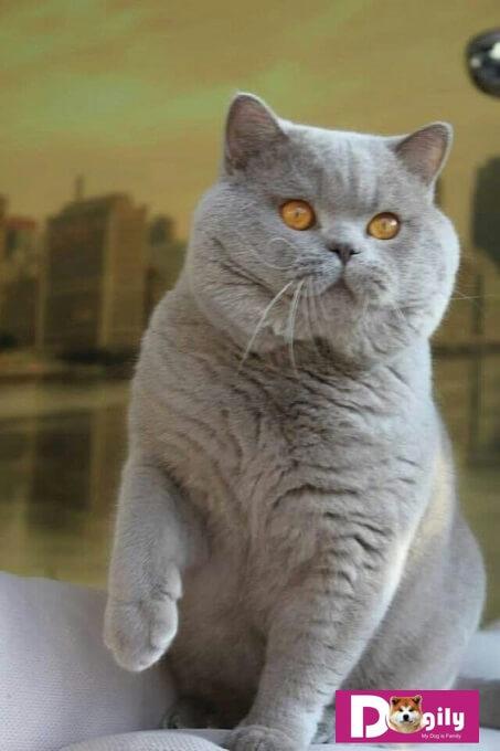 Bạn nên chọn mua mèo Anh lông ngắn từ những nhà nhân giống hoặc người bán có uy tín để hạn chế các rủi ro về bệnh di truyền