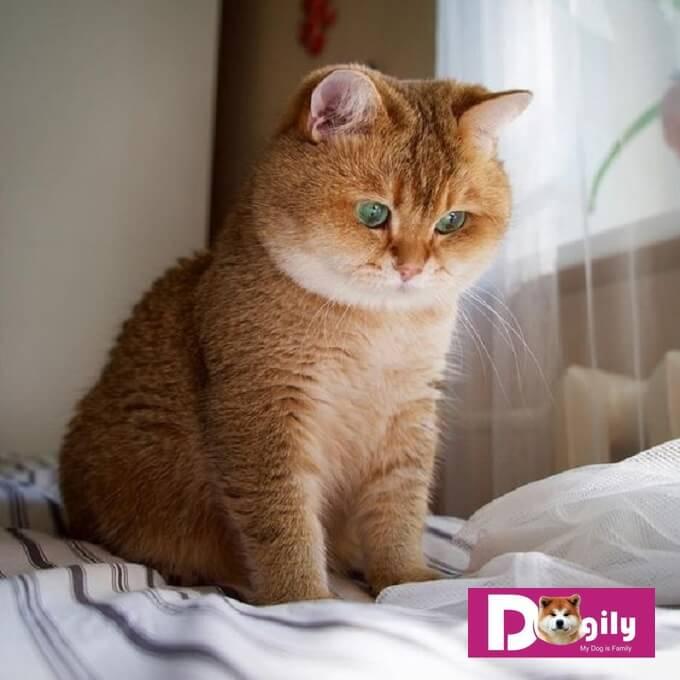 Bạn cần có chế độ dinh dưỡng hợp lý. Tránh để cho mèo ALN ăn quá nhiều dẫn đến bị béo phì