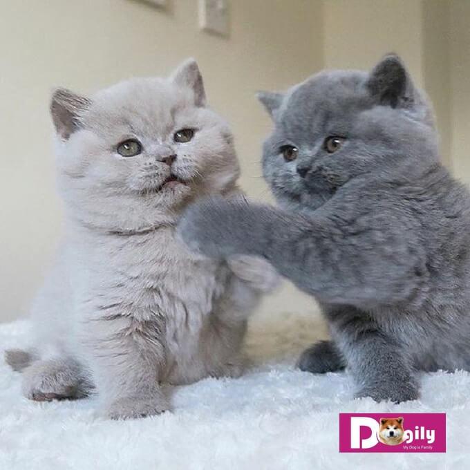 Bạn nên chọn mua mèo anh lông ngắn thuần chủng từ những nhà nhân giống hay người bán chuyên nghiệp và có uy tín. Bảo hành rõ ràng