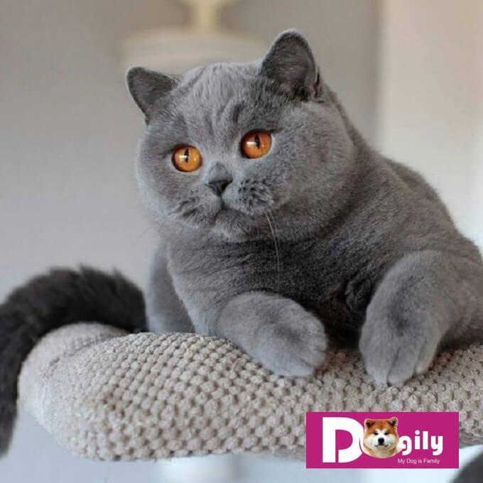 Mèo anh lông ngắn gây ấn tượng với người đối diện với cái đầu và gương bánh bao tròn xoe, mắt tròn long lanh như hai hòn bi ve