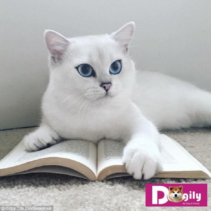 Một em mèo anh lông ngắn màu trắng. Nếu không được lau tuyến lệ thường xuyên. Mèo sẽ bị ố phần lông dưới mắt, đặc biệt lộ rõ với mèo ALN có màu lông trắng