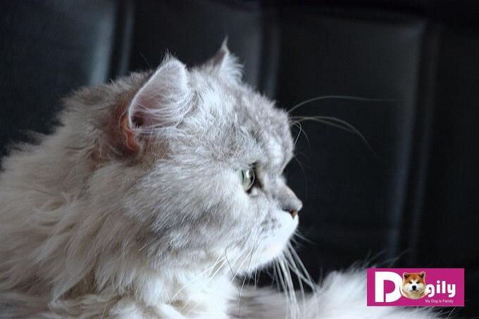Hầu hết mèo Ba tư truyền thống tại Việt Nam đều không có giấy. Vì vậy, nhiều người bán mèo ba tư truyển thống giá rẻ ở Hà nôi và Tphcm