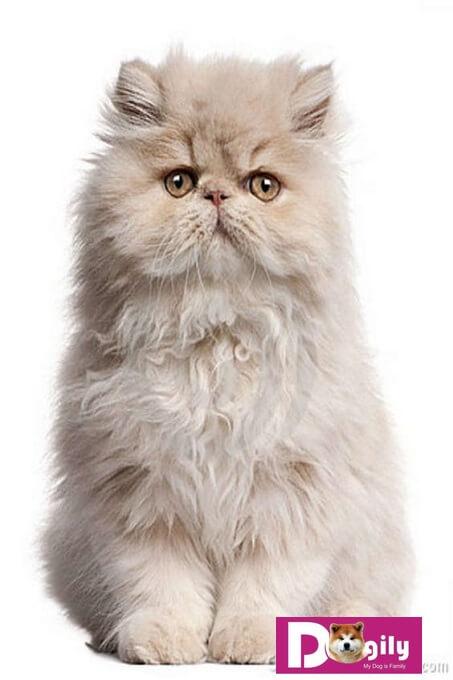 Hình chụp một chú mèo Ba Tư truyền thống (Traditional Persian)