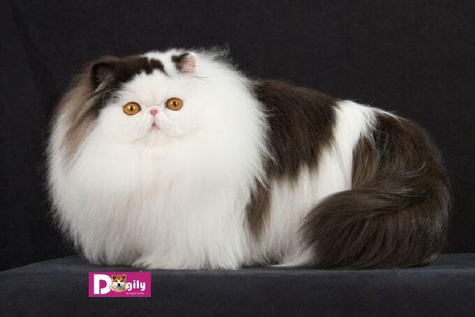 Mèo Ba Tư được nhập và Việt nam cách đây khoảng 10 năm. Với ngoại hình tuyệt đẹp và tính cách ngọt ngào. Mèo Ba tư đang là một trong những giống mèo được yêu thích nhất tại Việt Nam