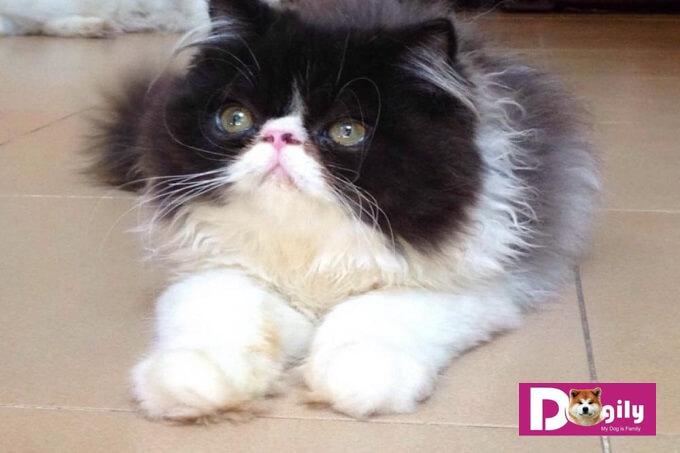Bạn nên lựa chọn mua mèo Ba Tư thuần chủng từ những người bán có uy tín