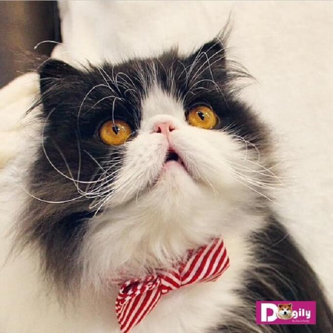 Giá bán mèo Ba tư bao nhiêu phụ thuộc rất lớn vào bộ lông đẹp hay xấu, có màu sắc đẹp, độc, lạ hay không