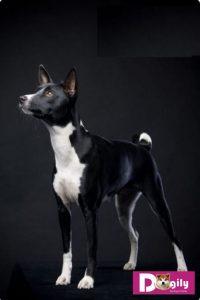 Bạn cầần thường xuyên để mắt tới chó Basenji nếu không muốn một ngày đẹp trời em ấy tẩu thoát mất