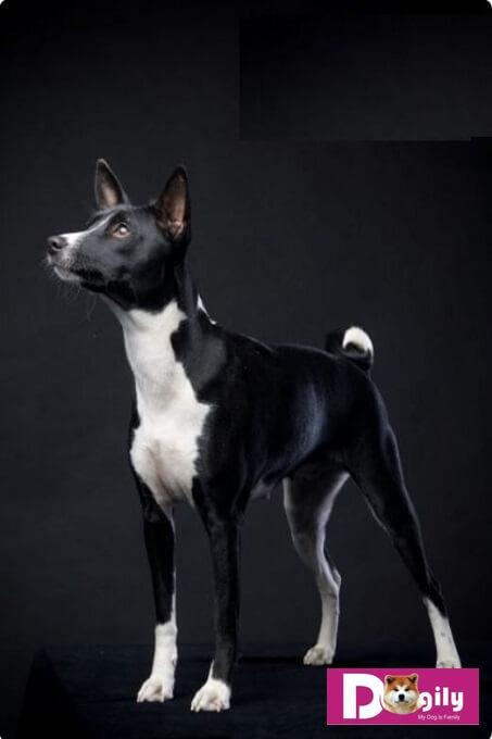Chó Basenji. Kinh nghiệm mua bán chó Basenji tại Hà nội và Tphcm
