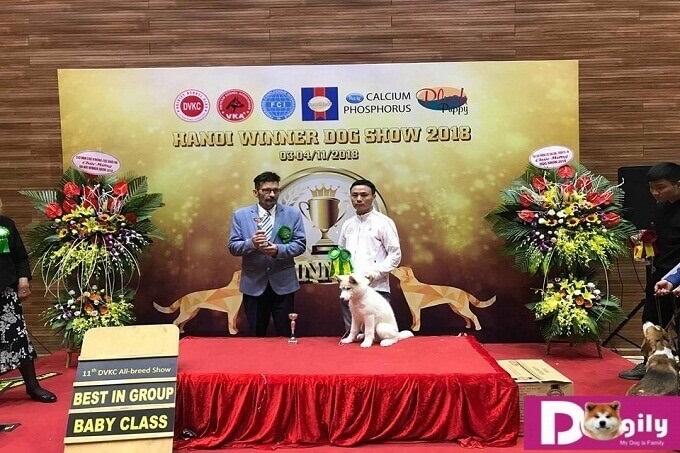 Bán chó Husky con đạt giải Best In Classk tại Dogshow Việt Nam tháng 11.2018