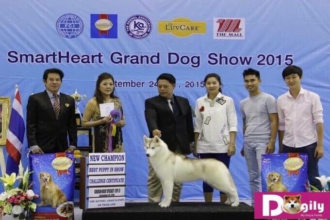 Chó Husky mẹ nhập khẩu châu Âu. Cũng là nhà vô địch Việt Nam và Thái Lan
