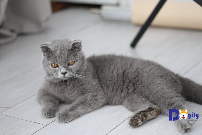Hình ảnh chú mèo Anh lông ngắn tên Chanh rất nổi tiếng trên Đảo Mèo của Dogily Petshop.