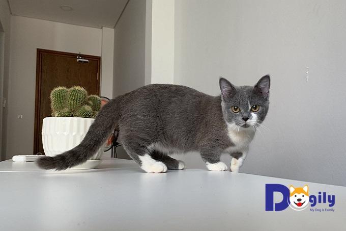 Mèo chân ngắn Munchkin màu Bi-color khá lạ mắt của Dogily Petshop.
