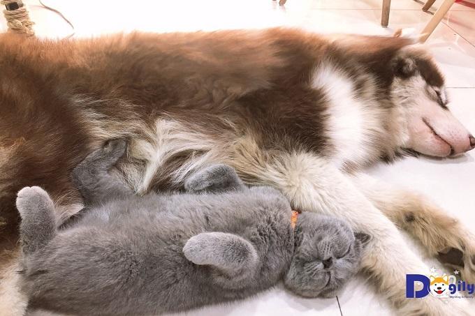 """Mèo Anh lông ngắn rất thân thiện với người và vật nuôi khác. Ai bảo """"ghét"""" nhau như chó với mèo. Mèo Chanh và Sói Alaska của Shop say giấc mơ trưa bên nhau nè."""