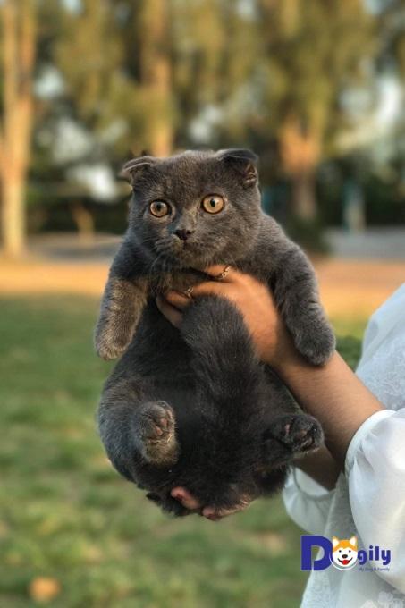 Ảnh một bé mèo Anh lông ngắn tai cụp được bán tại hệ thống Dogily Petshop. Tên chuẩn của mèo tai cụp là Scottish Fold.