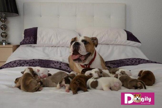 Hiện tượng chó bị tụt canxi thường xảy ra với chó mẹ mới sinh đẻ