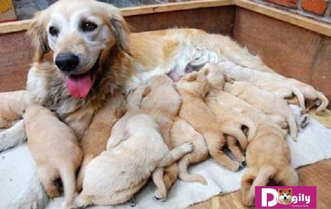 Giải pháp hỗ trợ, khắc phục hiện tượng chó bị tụt canxi