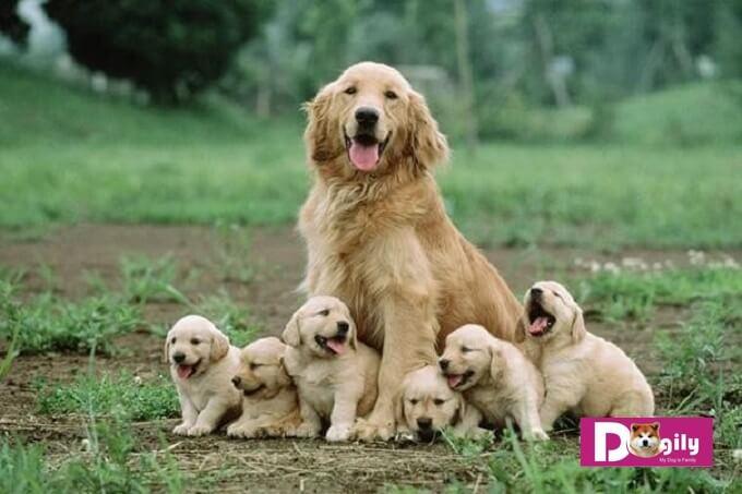 Những chú ý cần thiết khi chó mẹ gặp tình trạng tụt canxi