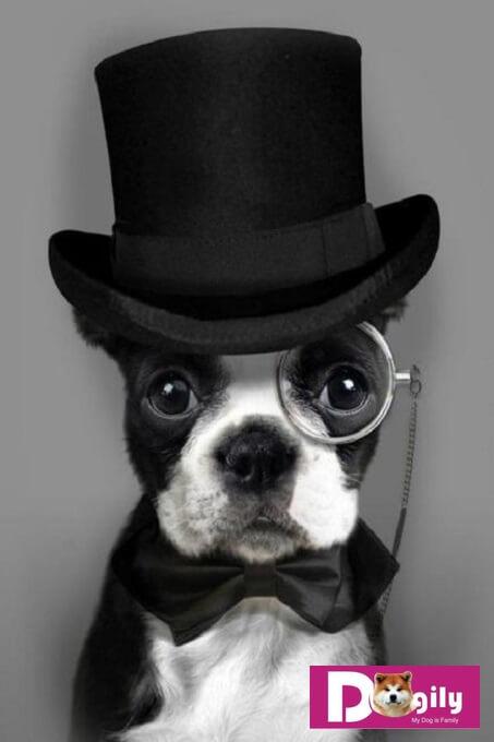Chó Boston Terrier. Kinh nghiệm mua bán chó Boston Terrier tại Tphcm và Hà Nội