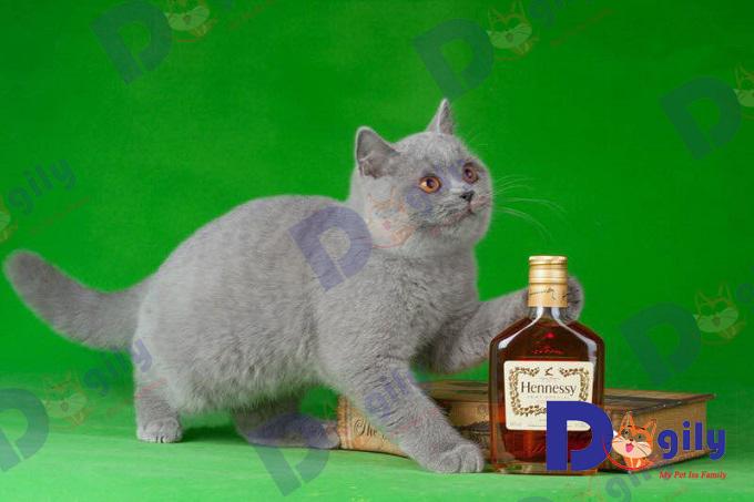 Bạn cần có chế độ dinh dưỡng hợp lý. Tránh để cho mèo ALN ăn quá nhiều dẫn đến bị béo phì.