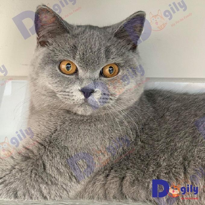 Đôi mắt màu vàng đồng của một chú mèo Anh lông ngắn nhập khẩu Nga của trang trại Dogily Cattery.
