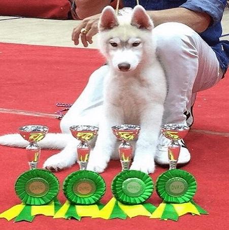 Bán chó Husky con thuần chủng 4 tháng tuổi Dogily Petshop