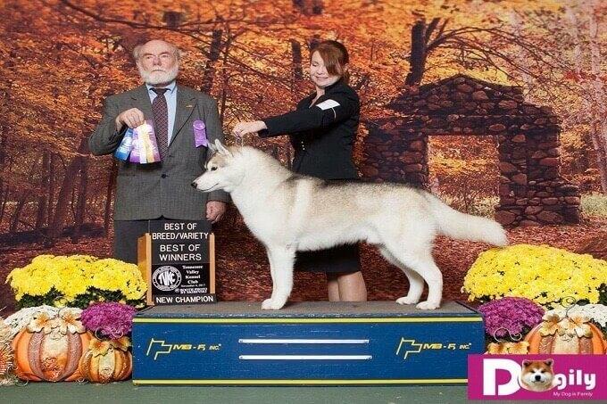 Chó Husky bố nhập khẩu Mỹ. Vô địch cả Việt Nam và Thái Lan
