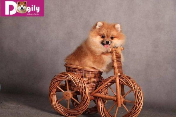 Hình ảnh chó phốc sóc nhập khẩu Dogily