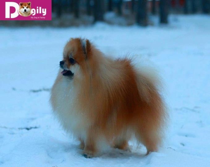 Pomeranian (chó phốc sóc) mặt gấu Nhập Nga– đàn số 1 tháng 12.2018 (MS:18121 POM)