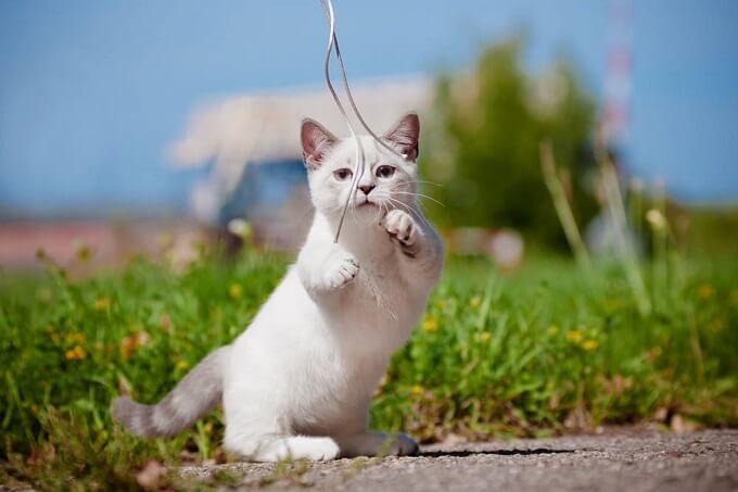Với đôi chân ngắn, mèo Munchkin không có khả năng nhảy cao. Tuy vậy, chúng rất thích nằm nghỉ ngơi ở những vị trí trên cao. Vì vậy, từng bước, từng bước, giống mèo này có thể chinh phụ những vị trí mà chúng muốn tới. Vấn đề chỉ là thời gian.