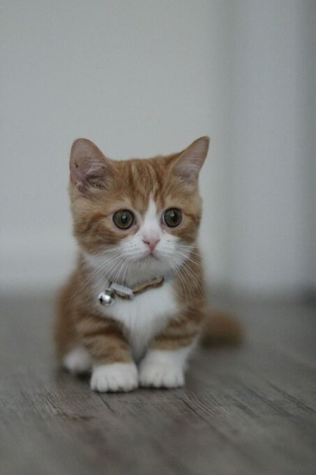 Tuyệt đối không nhân giống mèo Munchkin với nhau dễ gây tử vong cho mèo con. Mà chỉ có thể nhân giống mèo Munchkin chéo với mèo nhà