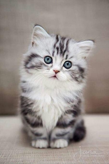 Bạn nên chọn mua mèo Munchkin từ những người bán có uy tín để tránh gặp phải các vấn đề về sức khỏe di truyền. Mèo bị tật lỗi hay bị các bệnh truyền nhiễm