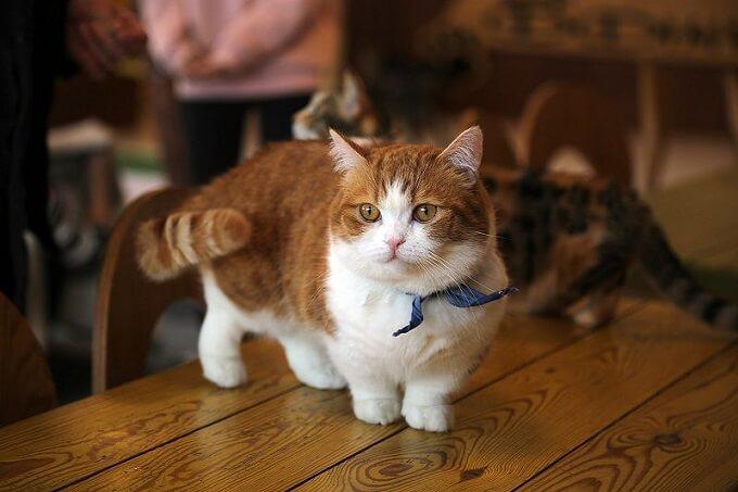 Bạn có thể đặt Order mèo Munchkin nhập khẩu từ các trại mèo lớn của Nga, Ucraina, Ba lan, Thái Lan... tại Dogily Petshop.