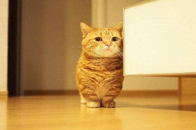 Bạn có thể chọn mua mèo Munchkin tại Dogily Petshop bằng hình thức Online, hoặc trực tiếp tại hệ thống cửa hàng Dogilly Petshop Hà Nội và Tphcm