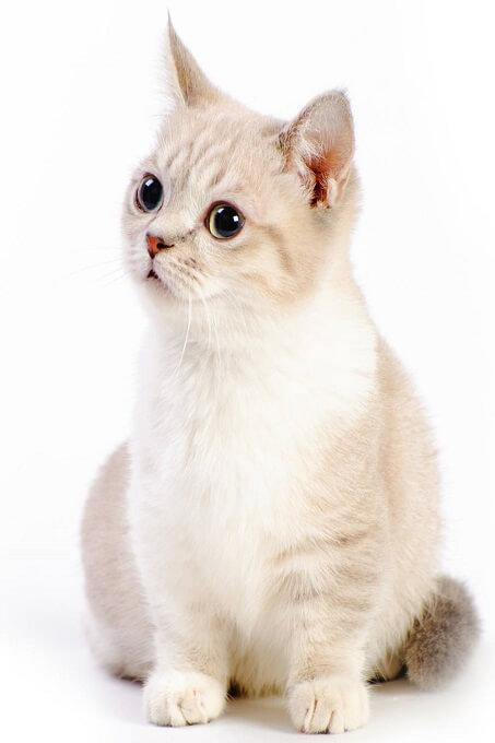 Mèo Munchkin được TICA công nhận khá muộn vào năm 2003. Nhiều tổ chức mèo trên thế giới vẫn chưa thừa nhận giống mèo này